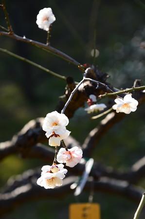 白滝枝垂れ(シラタキシダレ)