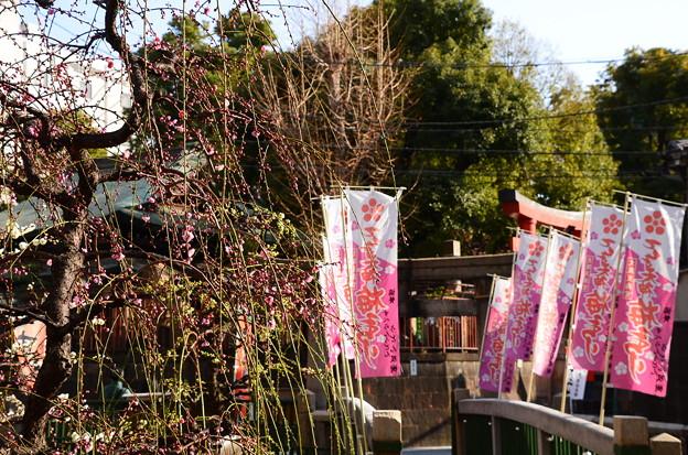 星合池脇の枝垂れ梅