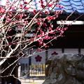 Photos: 梅の競演~