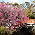 Photos: 曲橋と光琳の梅