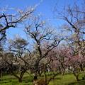 Photos: 見頃の梅苑