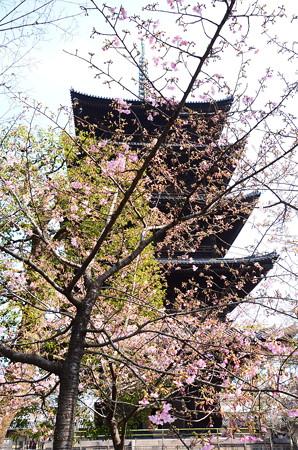 五重塔前の河津桜