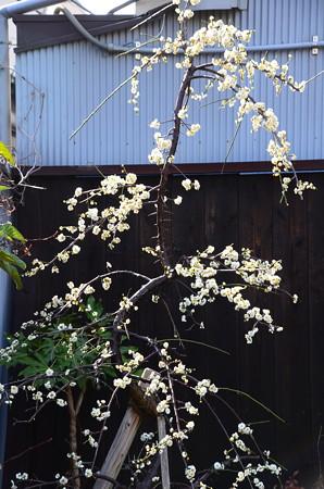 粟嶋堂の枝垂れ梅