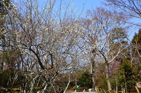 百花苑の梅