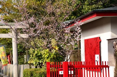 社務所脇の熊谷桜