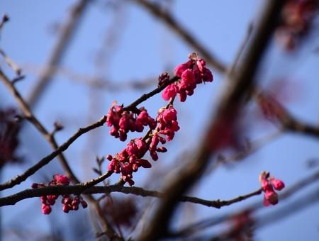 寒緋桜も咲き始め