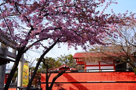 芸能神社と河津桜
