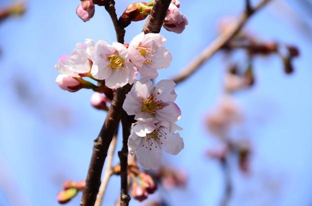 芸能神社向かいの桜