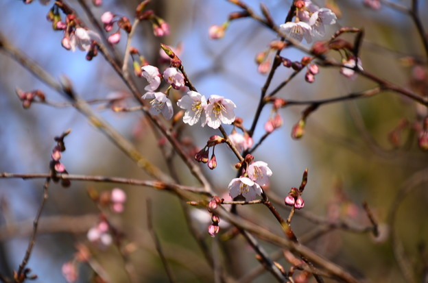 地主社脇の桜