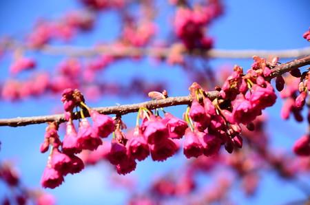 寒緋桜はもう満開