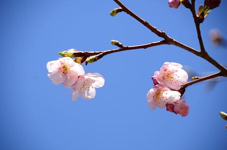 大漁桜(タイリョウザクラ)