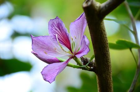 斑入り蘇芯花(フイリソシンカ)