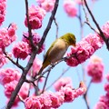 Photos: 黒木の梅を啄む目白(メジロ)