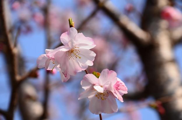 華頂通の桜
