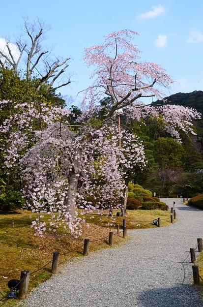友禅苑の枝垂れ桜