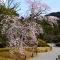 Photos: 友禅苑の枝垂れ桜