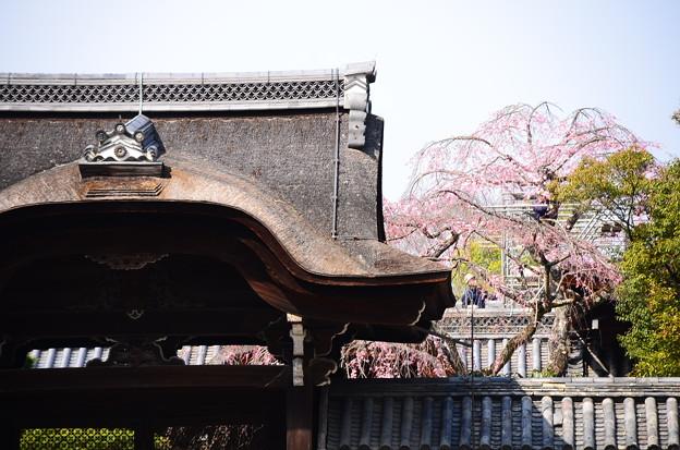 知恩院の枝垂れ桜