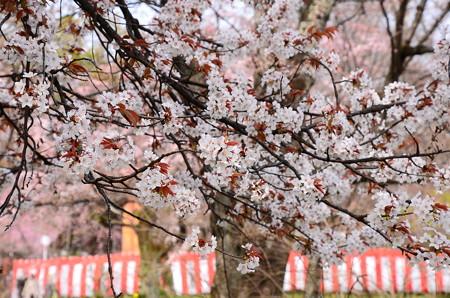 雪山桜(ユキヤマザクラ)