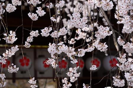 桜の宮の春