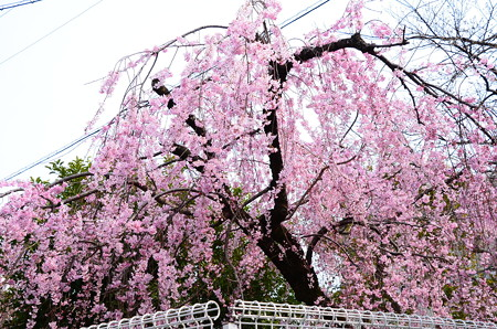 上京警察署の紅枝垂れ