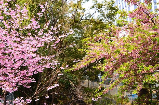 陽光(左)と河津桜(右)