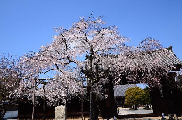 妙覚寺の枝垂れ桜
