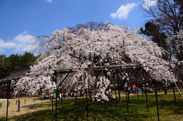 御所桜(ゴショザクラ)