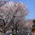Photos: 賀茂川沿いの染井吉野