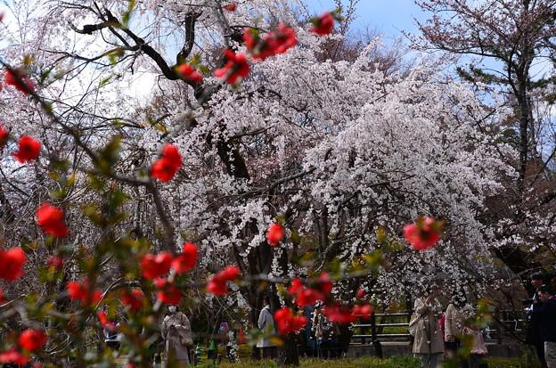 枝垂れ桜(シダレザクラ)
