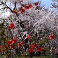 Photos: 枝垂れ桜(シダレザクラ)