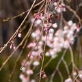 Photos: 三春滝桜の子孫株