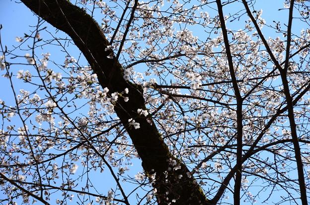 御幸桜(ミユキザクラ)