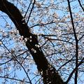 Photos: 御幸桜(ミユキザクラ)