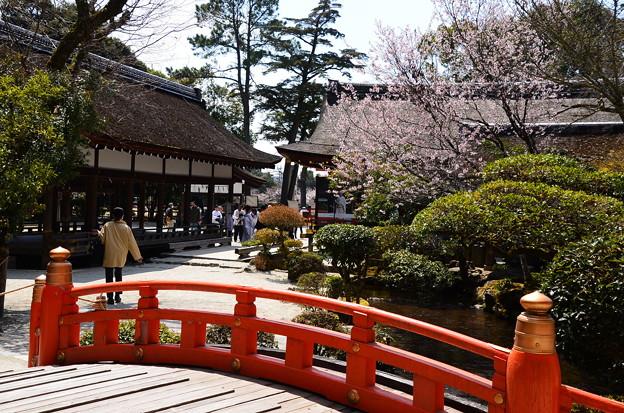 上賀茂神社の桜風景