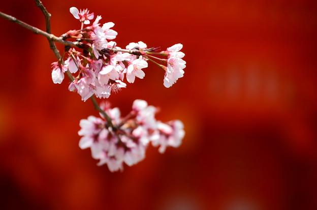 Photos: 楼門前の桜