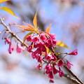 Photos: 寒緋桜(カンヒザクラ)