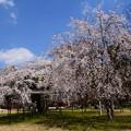 Photos: 御所桜(ゴショザクラ)