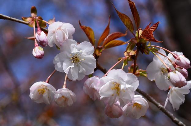 佐野桜(サノザクラ)