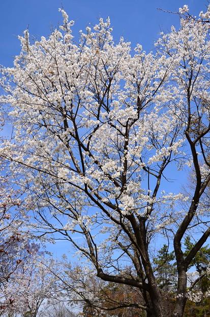 薄墨桜(ウスズミザクラ)
