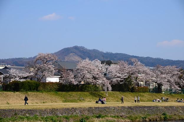 桜の賀茂川と大文字
