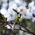 Photos: 長谷房桜(ハセフサザクラ)