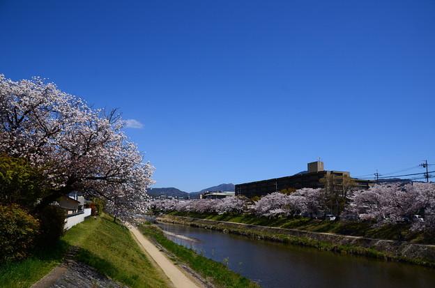 桜満開の高野川