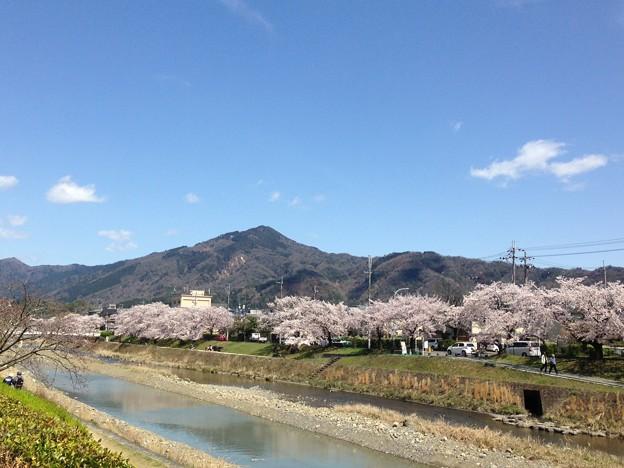 高野川の染井吉野と比叡山