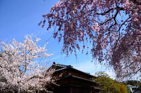 清流亭の桜
