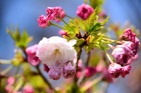出水広場の桜