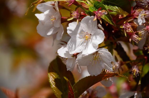 白雲神社東の桜