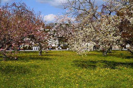 二条城の八重桜たち