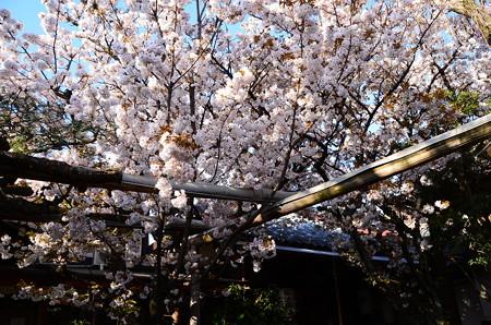 歓喜桜(カンギザクラ)