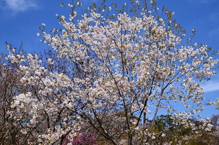 西宮権現平桜(ニシノミヤゴンゲンダイラザクラ)