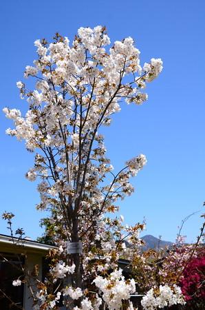 白山旗桜(ハクサンハタザクラ)
